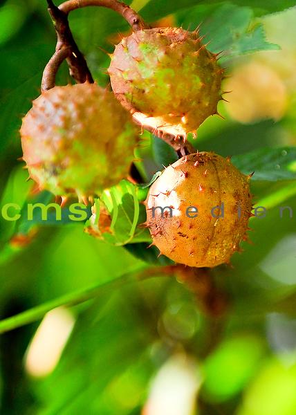 Stockfotos: Kastanienbaum und Kastanienfrucht