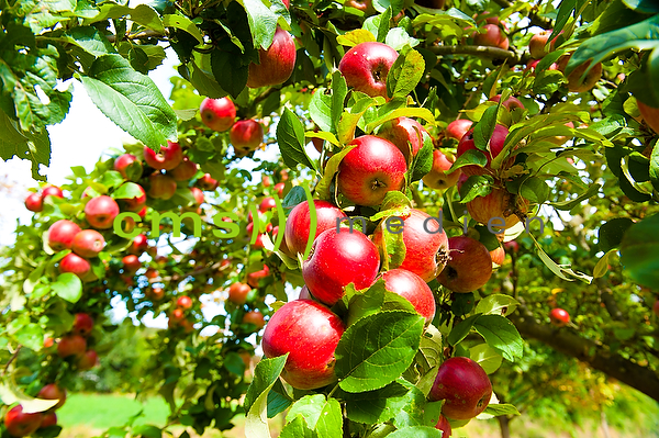 Apfelernte, Apfel, Apfelbaum, Birne, Birnenernte, Birnenbaum - Stockfotos von CMS-MEDIEN.EU