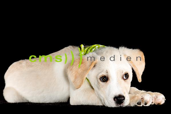 Lustige Tierkinder: Stockfotos von CMS-MEDIEN.EU Labrador Mix Hundewelpe - Tierkinder im Studio - Bayern 5.2.2017